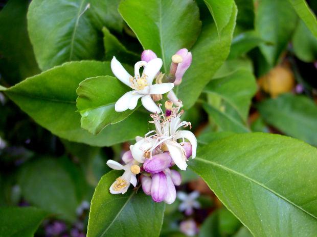 kvet citrona