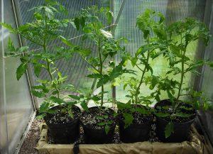 Pestujeme buxus. Ako sadiť, presádzať a polievať